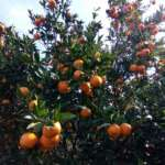 Orange-Orchard-Maldiram