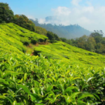 Tea-Plantation-Kerala-Pic