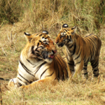 Tiger-Camp-Orissa
