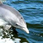 Dolphin-at-Chilka-Orissa