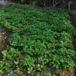 Farm-fresh-Spinach-at-Kalimpong-Village-Retreat