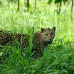 Leopard-in-Dooars