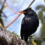 Blue-Whistling-Thrush-as-Seen-from-Kolakham