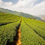 Darjeeling-Tea-Garden