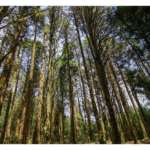 Pine-Forest-at-Barsey-Rhododendron-Sanctuar