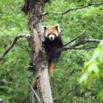 Red-Panda-at-Neora-Valley-National-Park