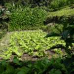 Organic farming at Ramdhura Woods