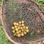 Pumsi Homestay own garden picked fruit
