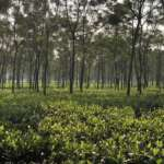 Saraswatipur Tea garden